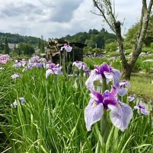 永沢寺の花菖蒲が満開です。